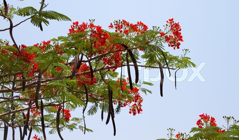Beautiful Red Acacia Branches India Stock Image Colourbox