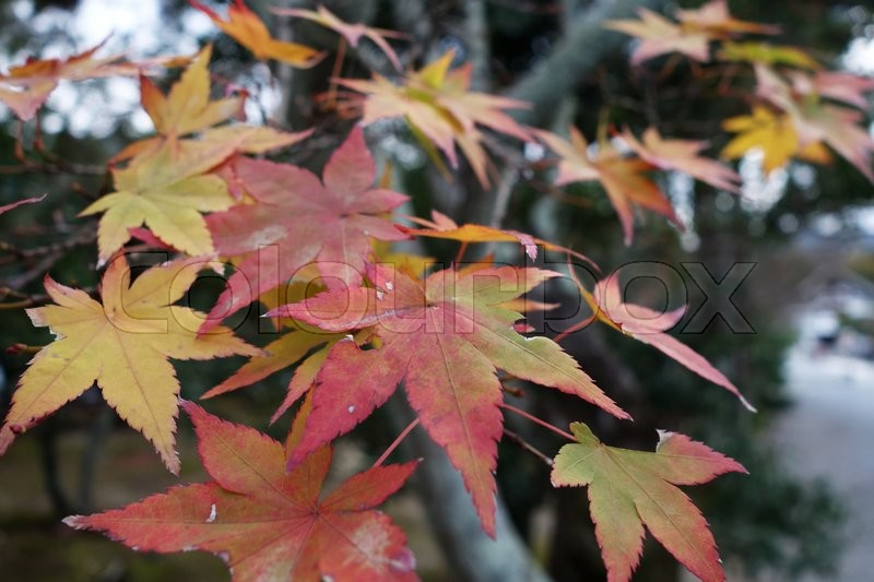 Close up of autumn red maple leaves, stock photo