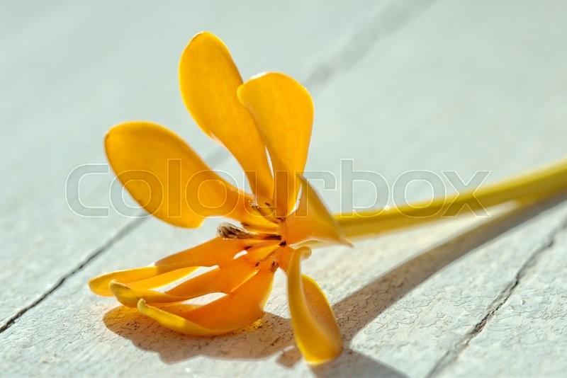 Yellow gardenia flower, Gardenia carinata Wallich, stock photo