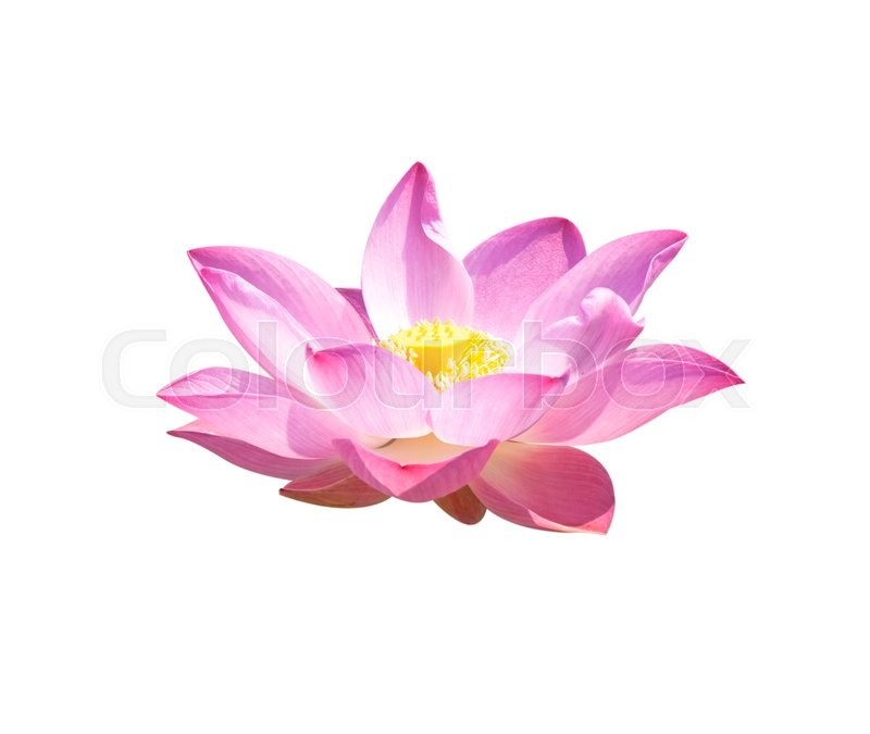 Lotus buds lotus flower and lotus flower plants stock photo lotus buds lotus flower and lotus flower plants stock photo colourbox mightylinksfo
