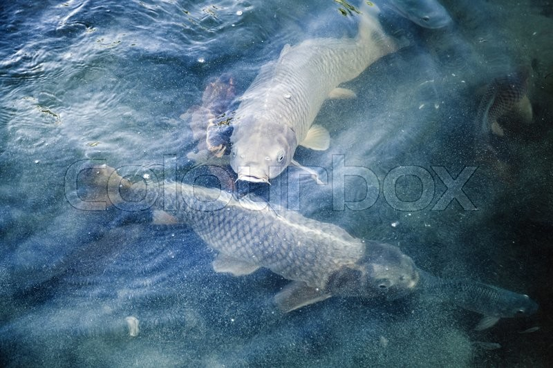 Group of big carps floats in blue water, stylized photo with blue tonal correction filter, selective focus and shallow DOF, stock photo
