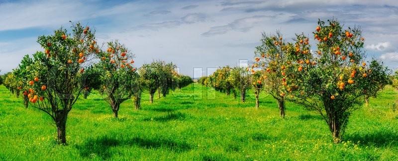 Orange plantation in Panicale buy