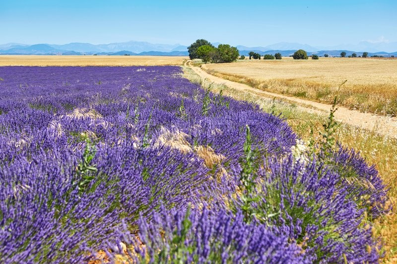 Stock image of 'Beautiful blooming lavender field on the Valensole Plateau in Provence, France'