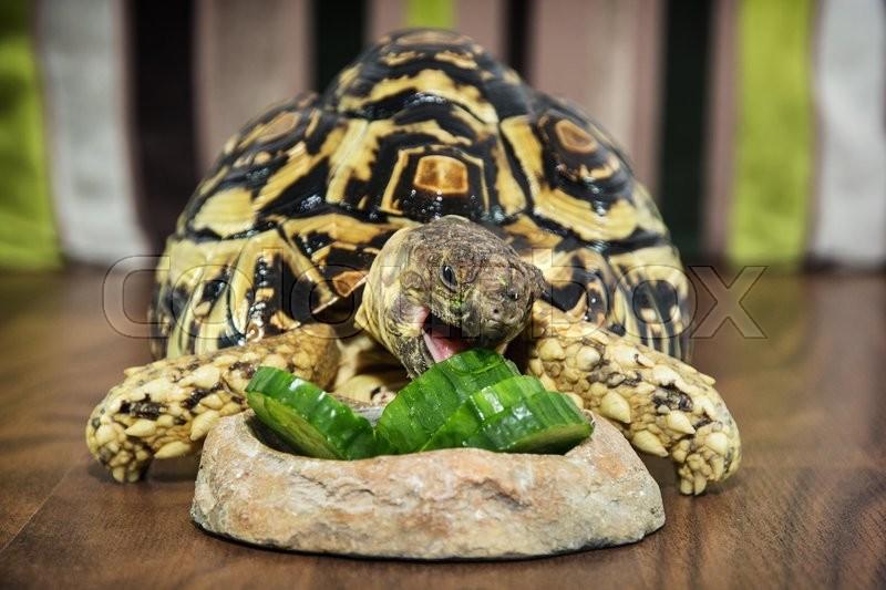 Leopard Tortoise Geochelone Pardalis Stock Image