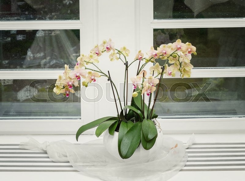 Pink orchid on a window sill, stock photo