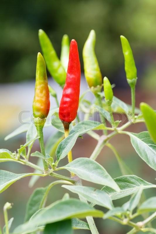 Close Up Thai Bird Chili In Garden Stock Photo Colourbox