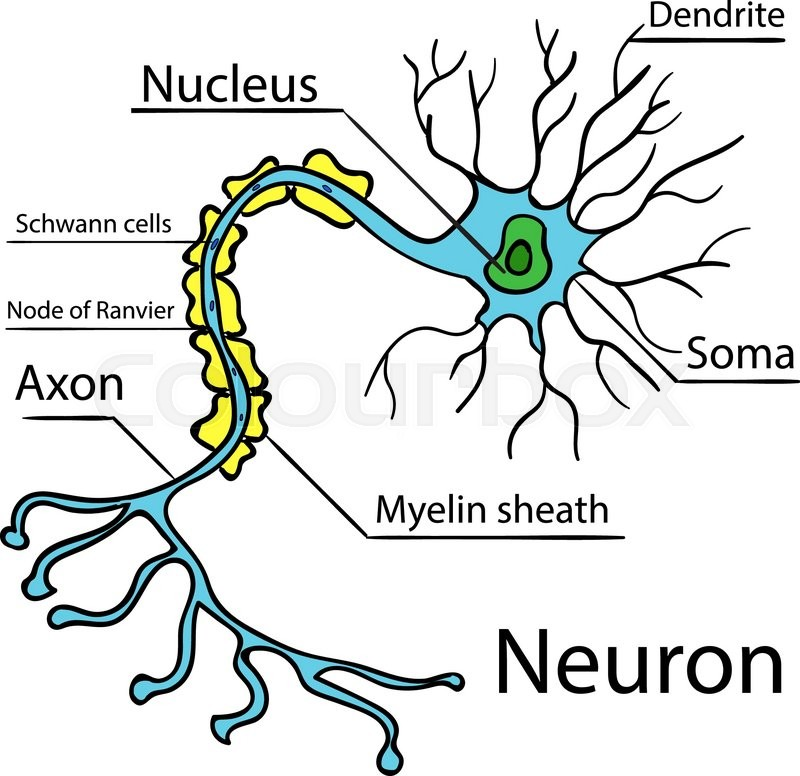 Anatomy of a typical human neuron (axon, synapse, dendrite ...