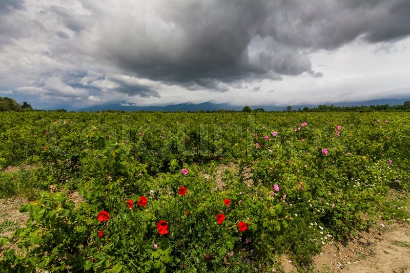 The picturesque landscape with rose field under a cloudy sky. Bulgaria, stock photo