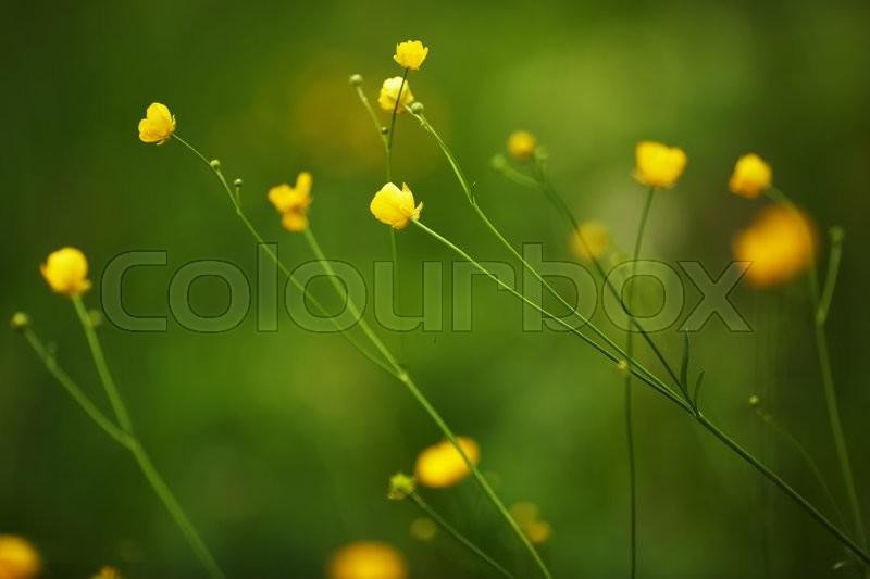 Small yellow wild flowers on long thin stalks stock photo colourbox mightylinksfo