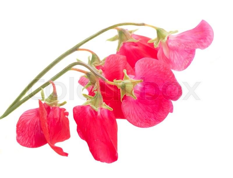 Sweet pea flowers isolated on white background stock photo colourbox mightylinksfo