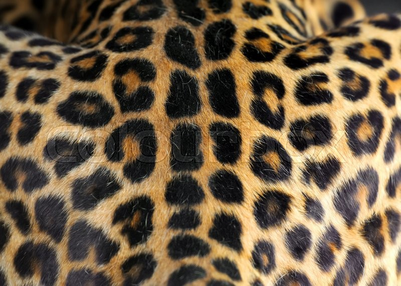 Close Up Real Leopard Skin Texture For Background Stock