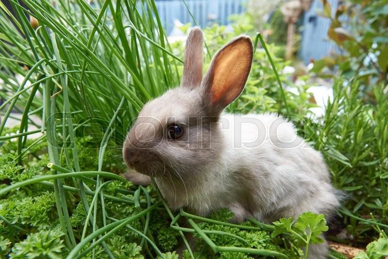 Baby pet rabbit eating herbs in the garden, stock photo