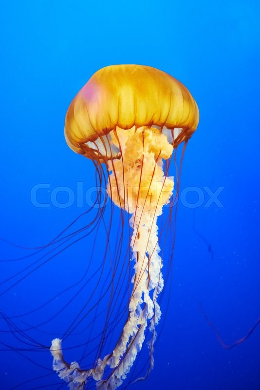 Image gallery chrysaora jellyfish for Can i have a jellyfish as a pet