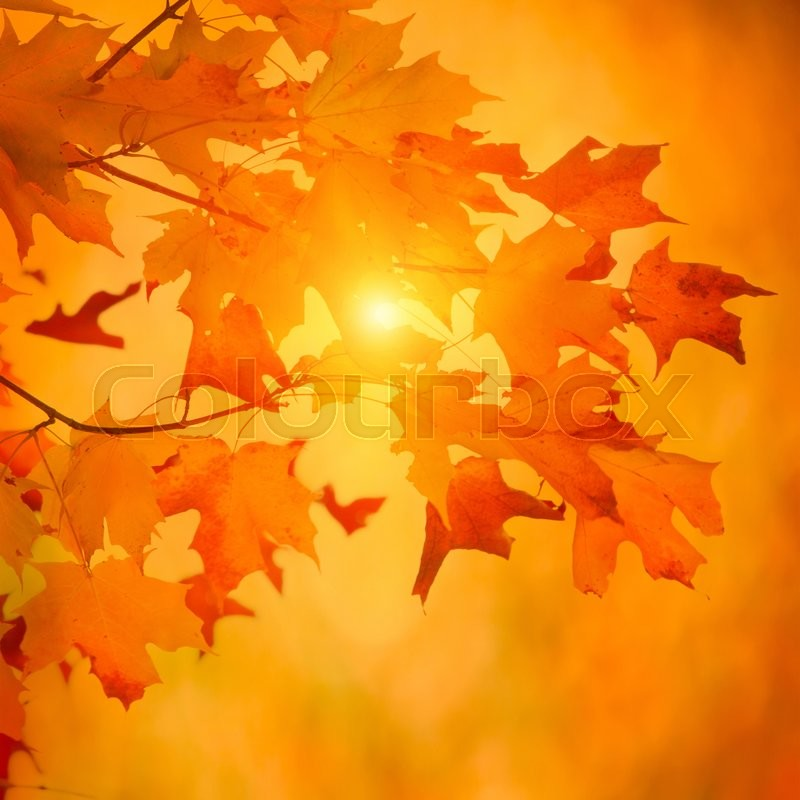 Autumn maple branch with bright vibrant leaves on blurred fall foliage background, stock photo