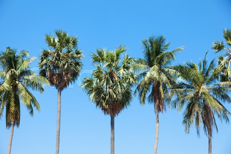 Palm tall tree and coconut trees planted in the garden, agricultural areas, stock photo