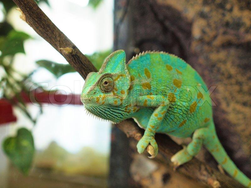 green chameleon  stock photo  colourbox