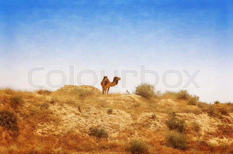 Stock image of 'Arabian Camel graze at the Israeli Negev Desert. Israel. Photo textured in old color'