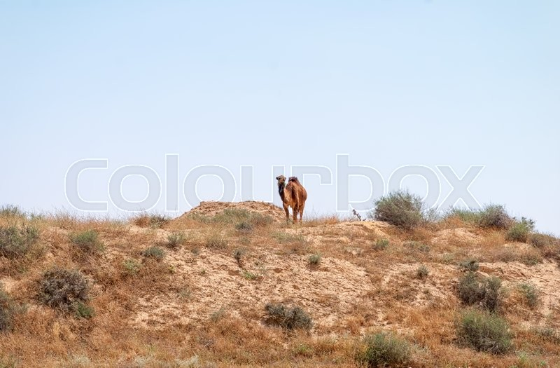 Stock image of 'Arabian Camel graze at the Israeli Negev Desert. Israel'