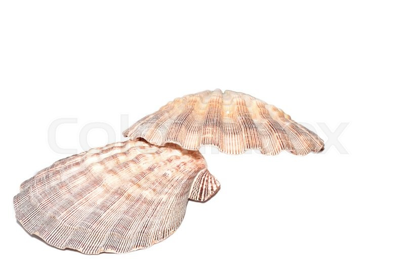 Stock image of 'The Marine Mollusca Lyropecten nodosus on a white background'