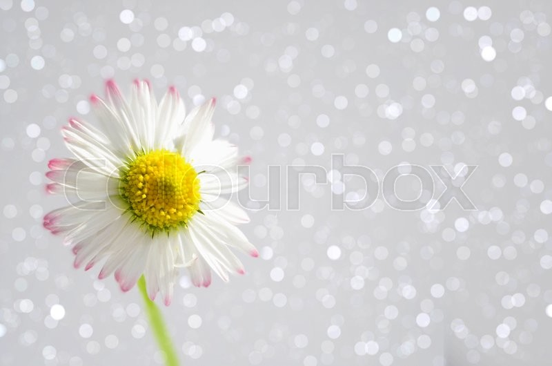 Stock image of 'Beautiful Daisy,Bellis perennis on a sparkling bokeh background'