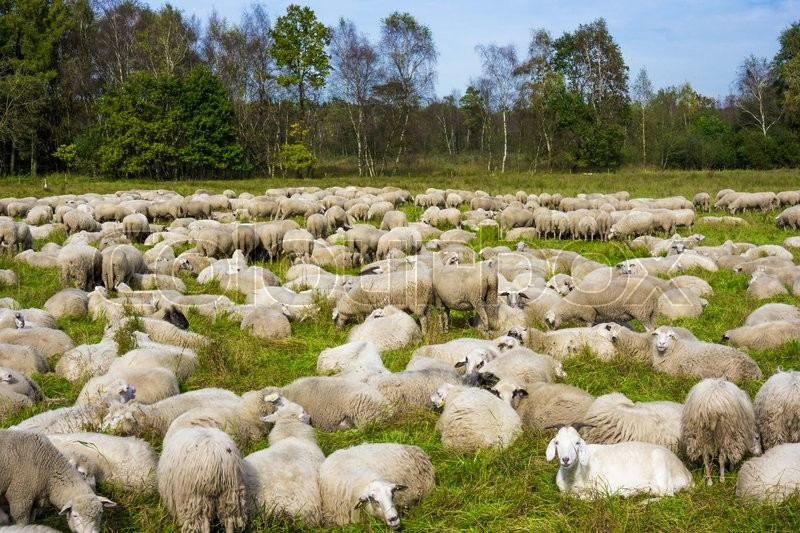 Stock image of 'Group of sheep on a pasture. Grazing lamb'