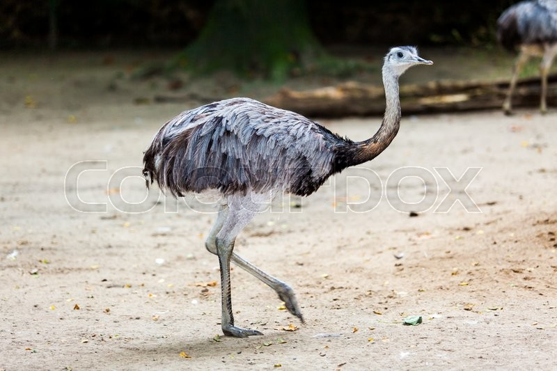 Stock image of 'Ostrich'