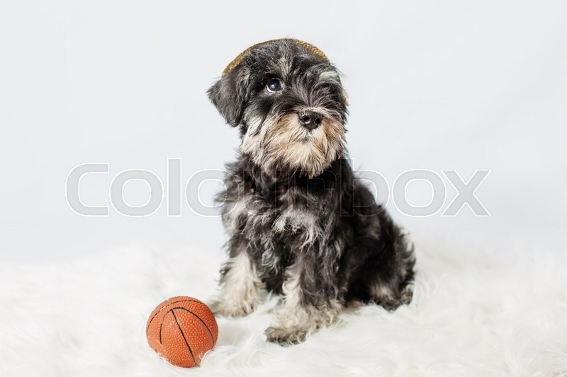 Stock image of 'portrait miniature Schnauzer black isolated over white background'