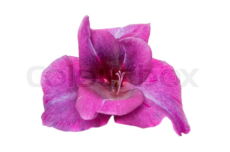 Stock image of 'gladiolus isolated on white background'