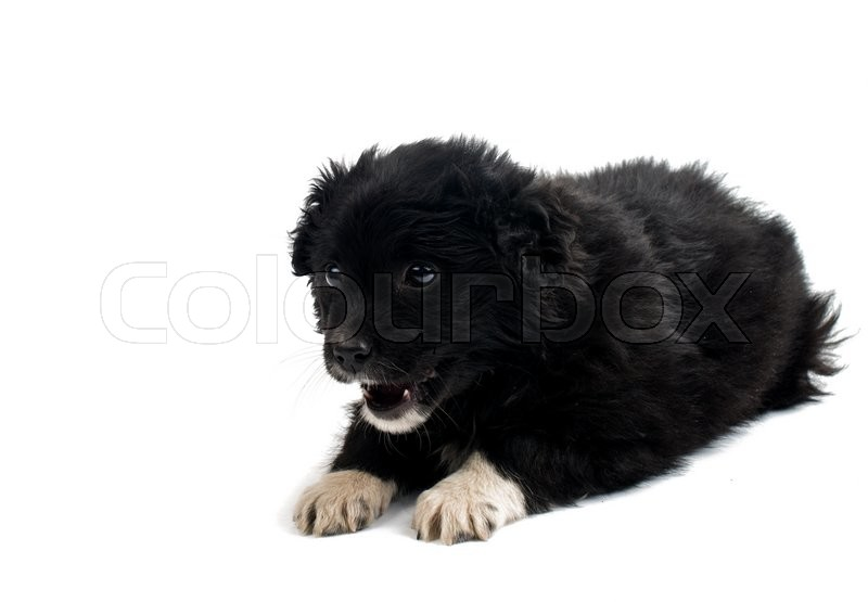 Stock image of 'puppy isolated on white background'