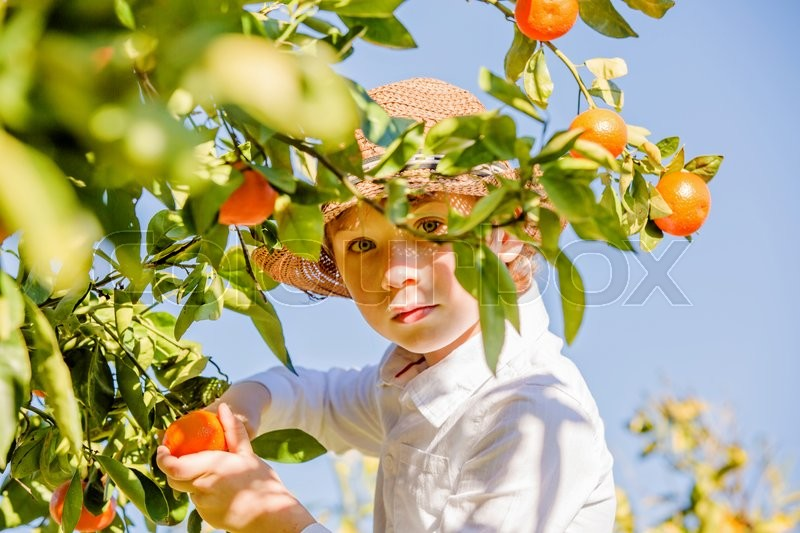 Stock image of 'Portrait of attractive cute young boy picking mandarins at citrus farm on sunny summer day. Family healthy, fun activity on holidays concept'