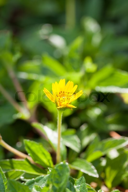 Stock image of 'Small yellow flower. Small yellow flowers in full bloom grass.'