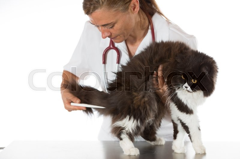 Stock image of 'Veterinary taking the temperature of a cat in clinic'