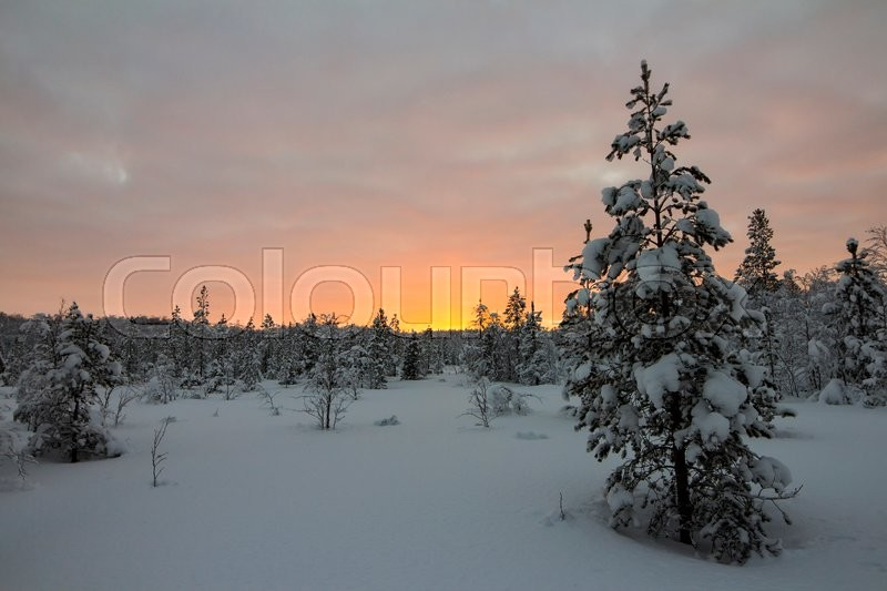 Stock image of 'Snow-covered forest, at the sunset'