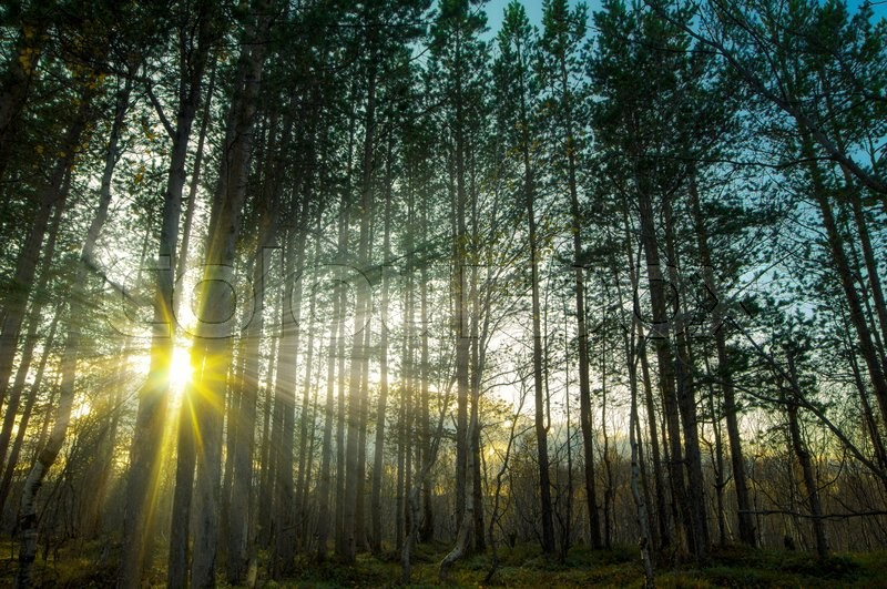 Stock image of 'The rays of the sun through the trees in the autumn forest'