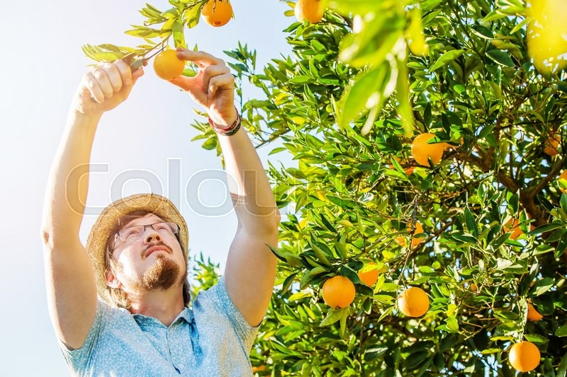 Stock image of 'Cheerful young man harvests oranges and mandarins on citrus farm on sunny summer day'