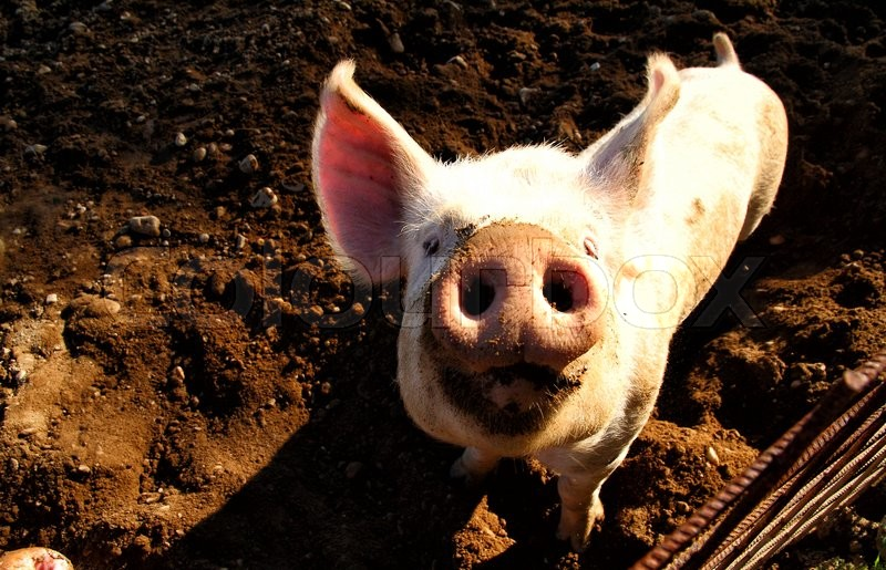 Stock image of 'Pig on the farm'