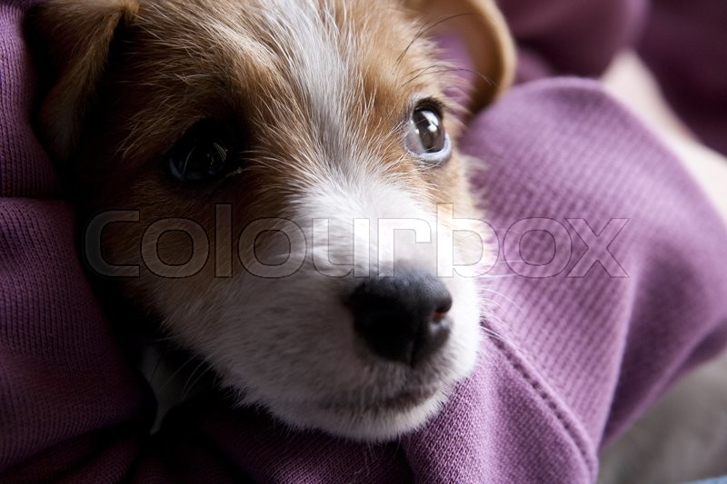 Stock image of 'A very sweet puppy of Jack Russel'