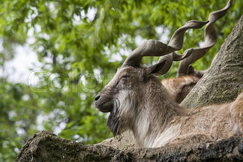 Stock image of 'Markhor resting on a rock '