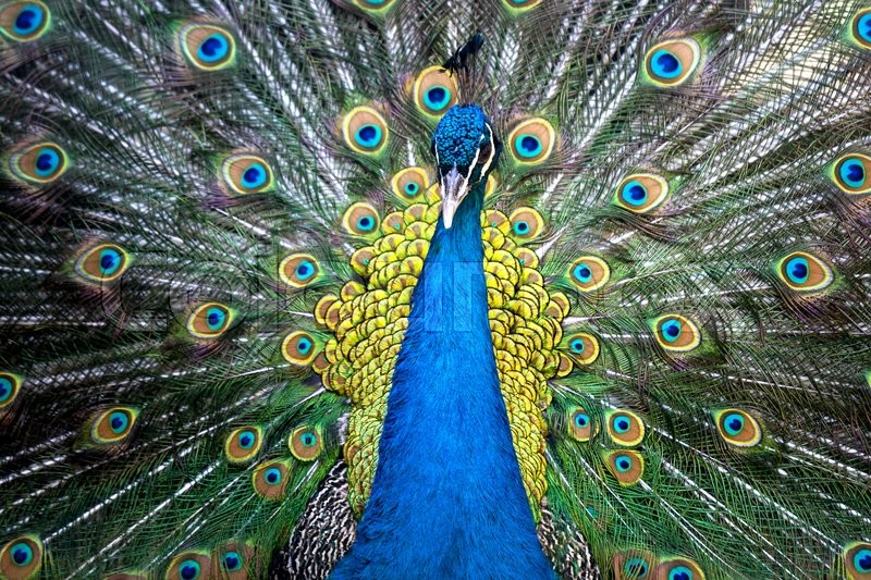 Stock image of 'Portrait of beautiful peacock with feathers out '