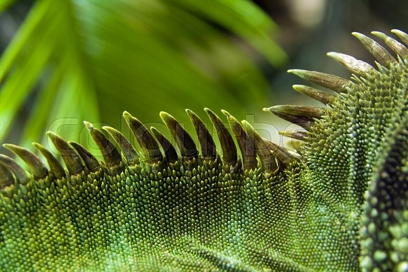 Stock image of 'Detail of green and beautiful iguana's crest'