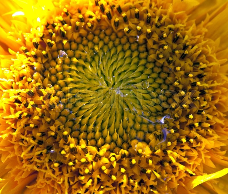 Stock image of 'Close-up of beautiful sunflower after rain.'