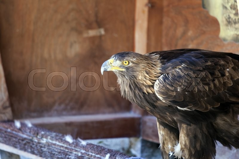 Stock image of 'Portrait of a golden eagle (Aquila chrysaetos) .'