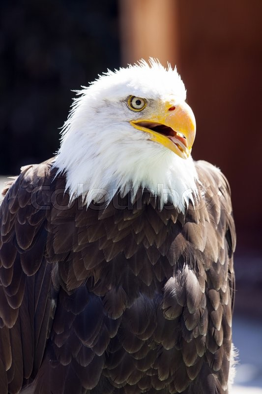 Stock image of 'A beautiful North American Bald Eagle.'