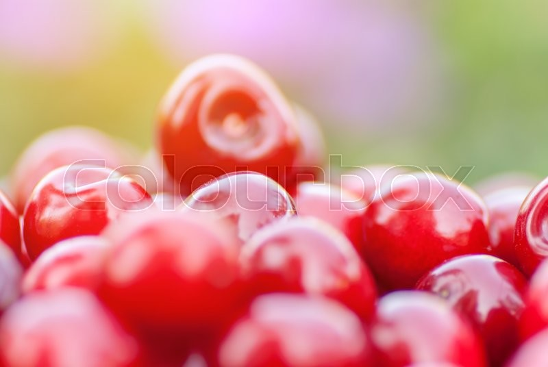 Stock image of 'Freshly picked ripe red cherries, in an orchard, on a sunny day.'