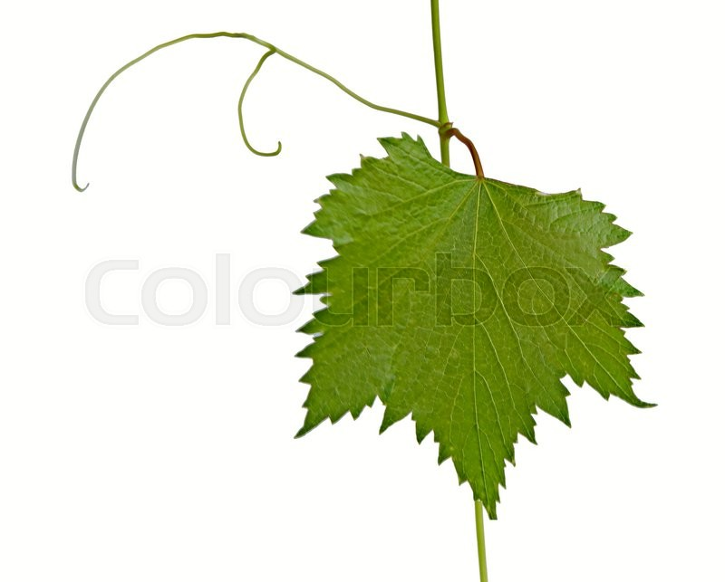 Stock image of 'Closeup of grapevine'