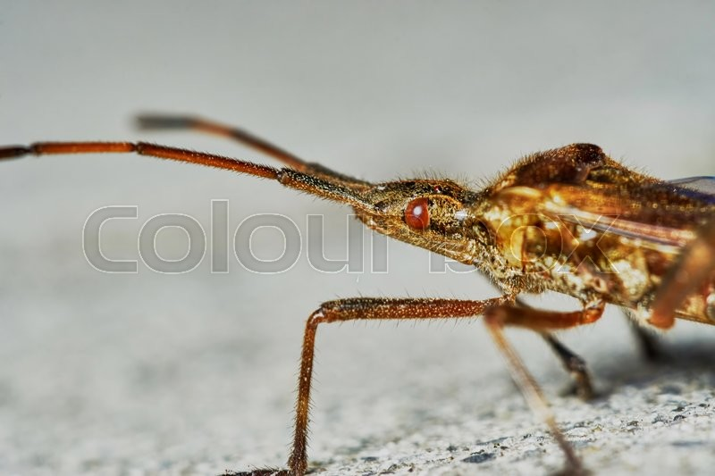 Stock image of 'Little brown grasshopper closeup\                               '