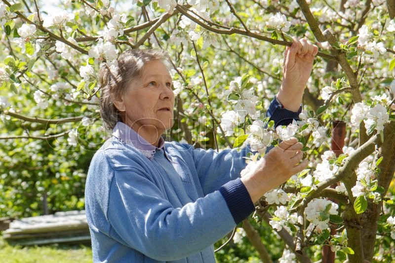Stock image of 'An old lady by a blooming apple tree'