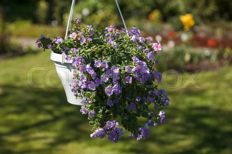 Stock image of 'A hanging flower pot with a bunch of blooming purple flowers'