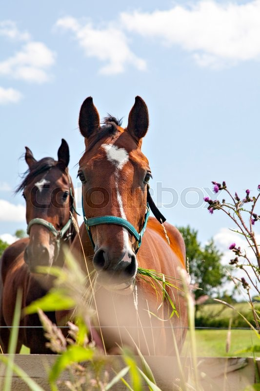 Stock image of 'Image of two horses munching grass in their pen. '