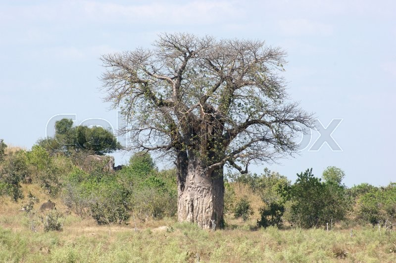 Stock image of 'baobab tree in Botswana, Africa'